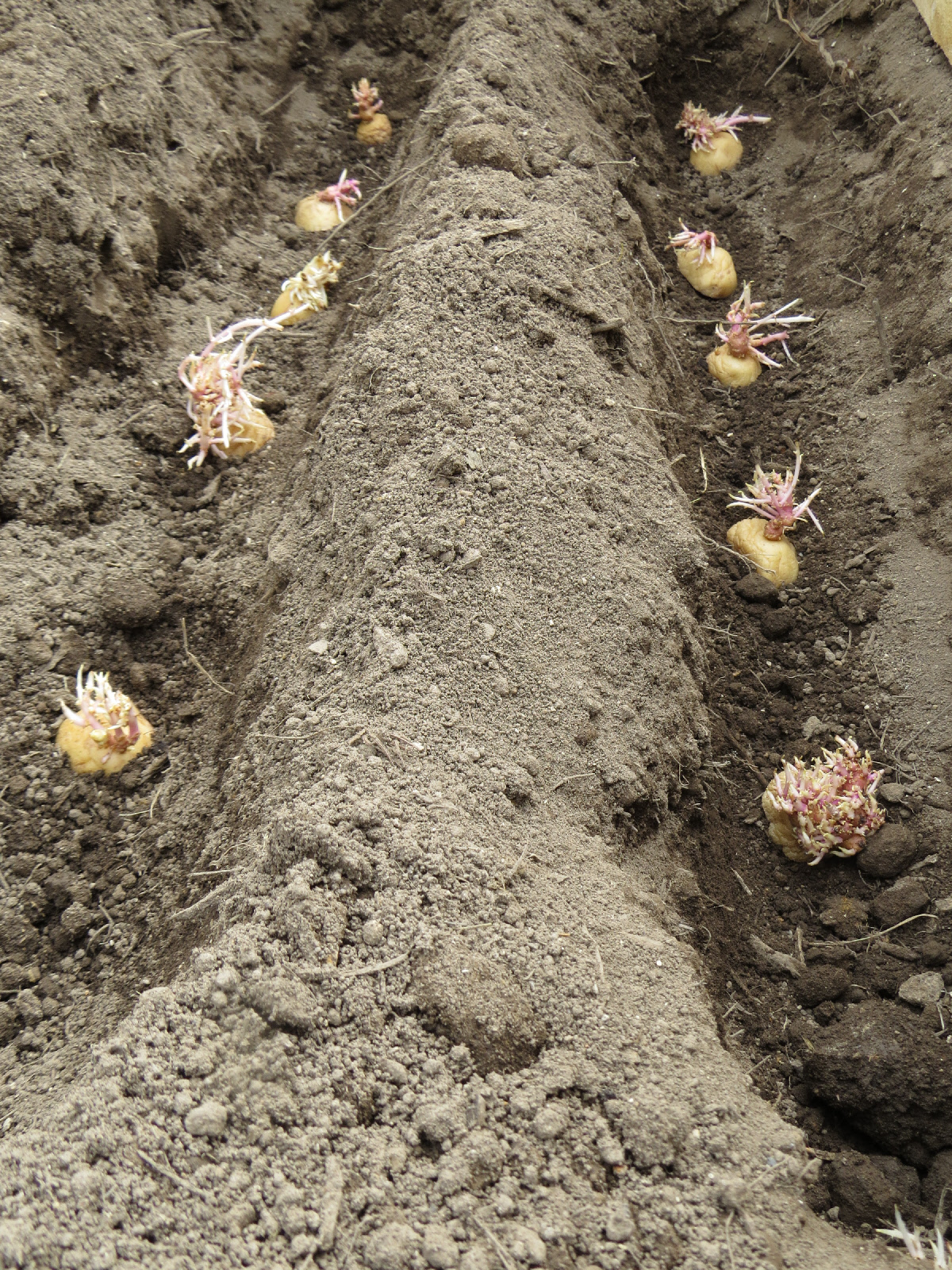 Potatoes Where To Plant Rediscover